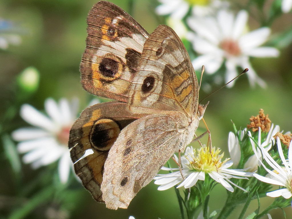 A Common Buckeye Butterfly in the Front Garden on September 25.