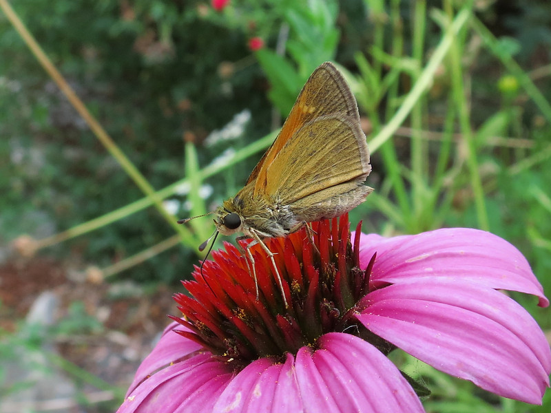 Skipper on Purple Cone flower.