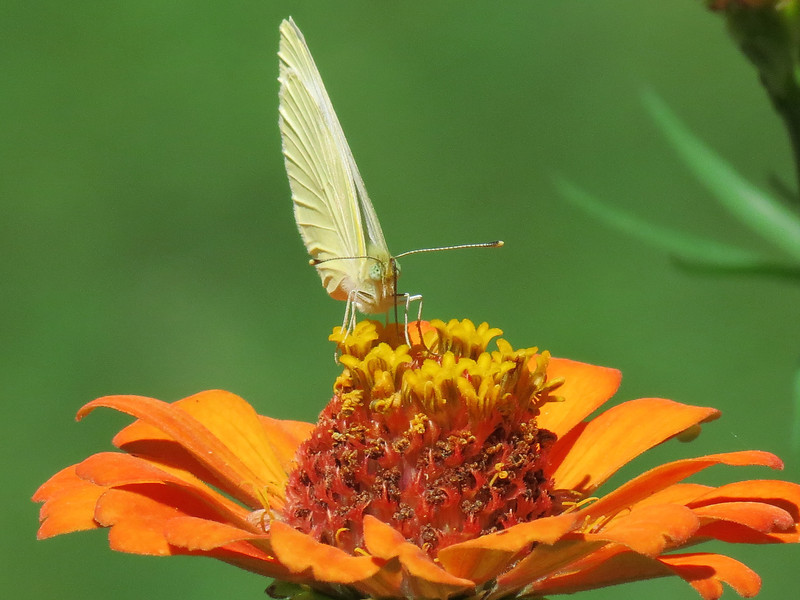 Cloudless Sulphur on orange Zinnia.