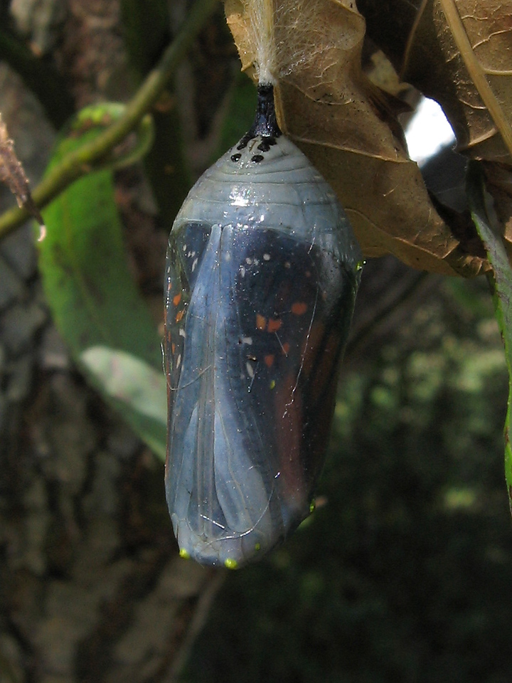 "This is the same monarch chrysalis after 8 days.<br /> This close up shows the ""zipper"" where the chrysalis will open."