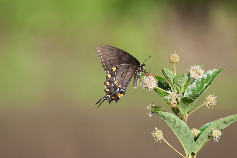 Eastern Tiger Swallowtail dark form