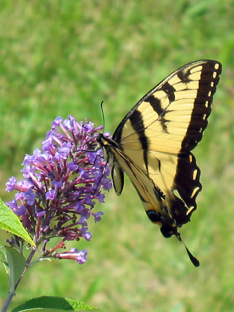 This was taken at home.<br /> This swallowtail landed on the butterfly bush<br /> long enough for me to get the camera focused.