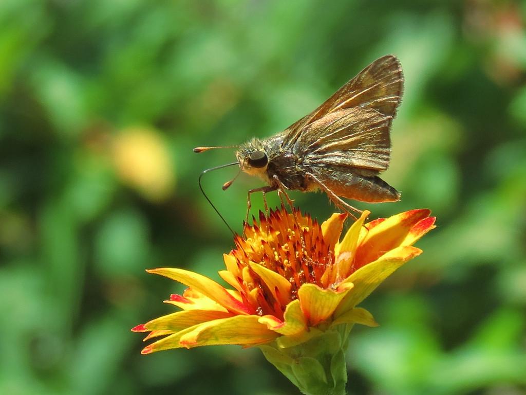 Skipper butterfly feeding on Zinnia.