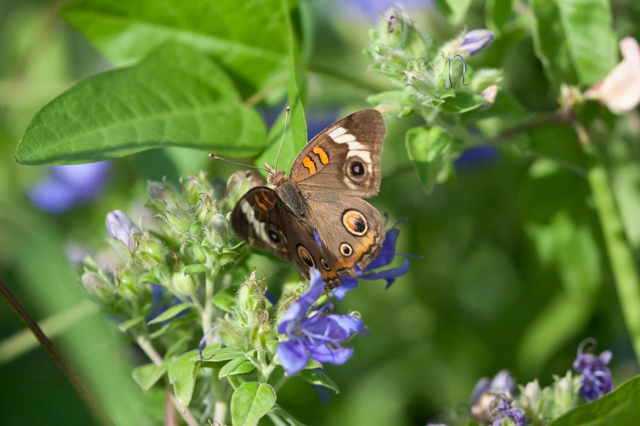 Buckeye Butterfly on Blue Waterleaf