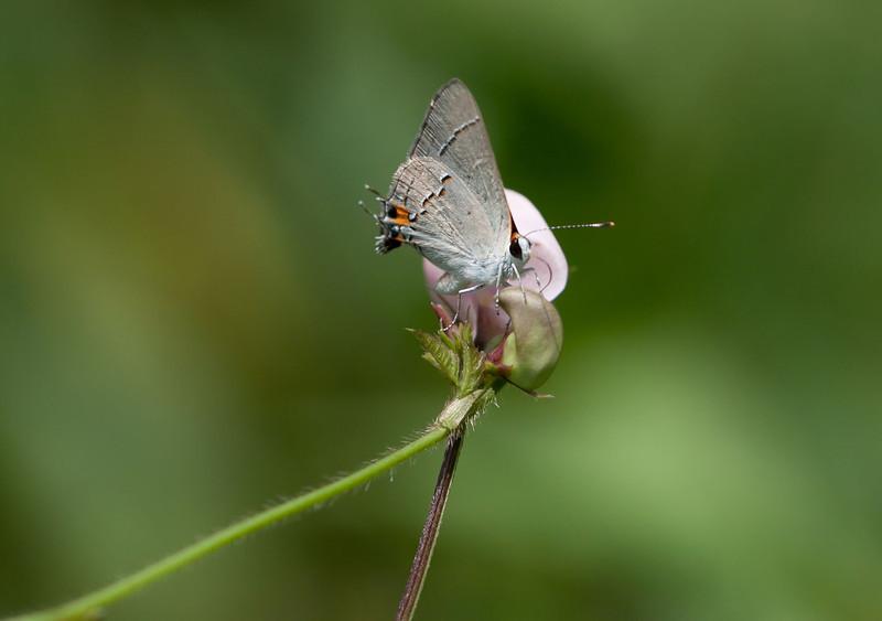 Gray Hairstreak on Butterfly Pea