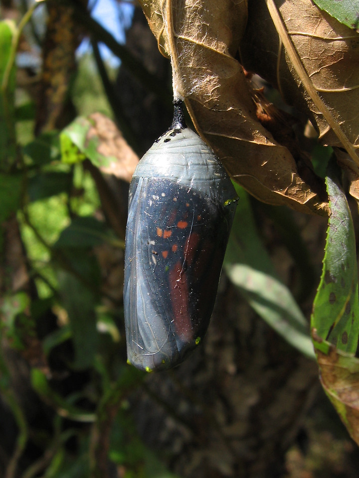 This is the same monarch chrysalis after 8 days.<br /> It appears to have turned 180 degrees from its original orientation.