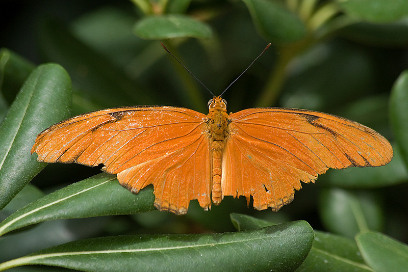 Julia<br /> -Dryas iulia<br /> North, Central & South America