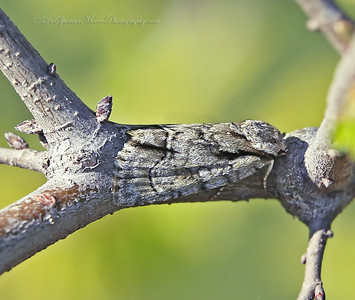 A moth I found early this spring hiding during the day light hours camouflaged on this limb.