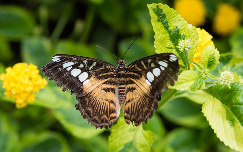 Butterfly_2k16_20160814_132_pp2_crop