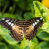 Butterfly_2k16_20160814_132_pp2_crop
