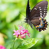 Butterfly_2k16_20160814_052_pp_crop2