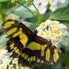 Butterfly2k17_20170520_056