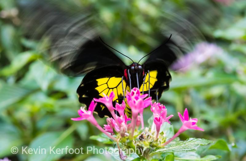 Butterfly_s2_2k18_20180630_025