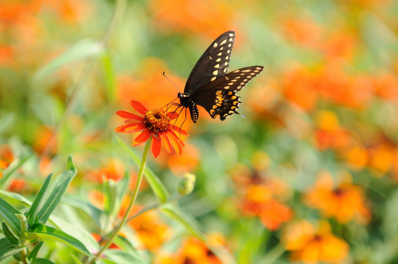 Butterflies82409_033