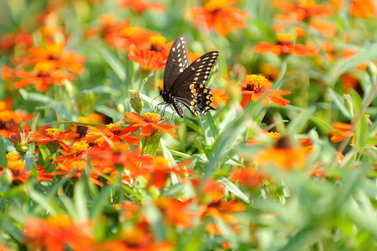 Butterflies82409_037