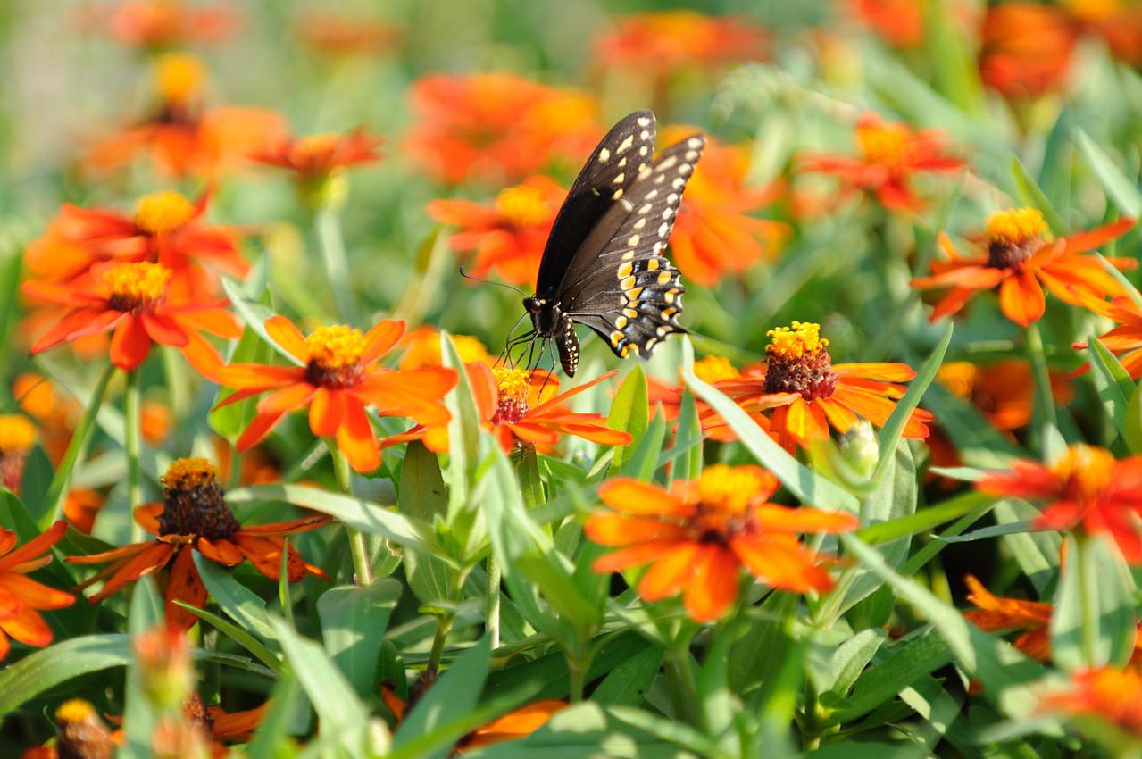 Butterflies82409_044