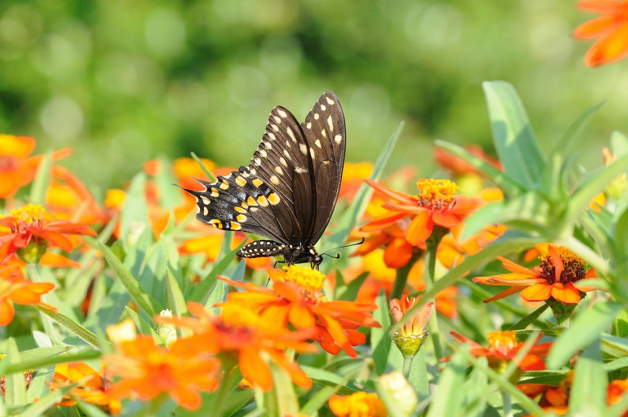 Butterflies82409_013