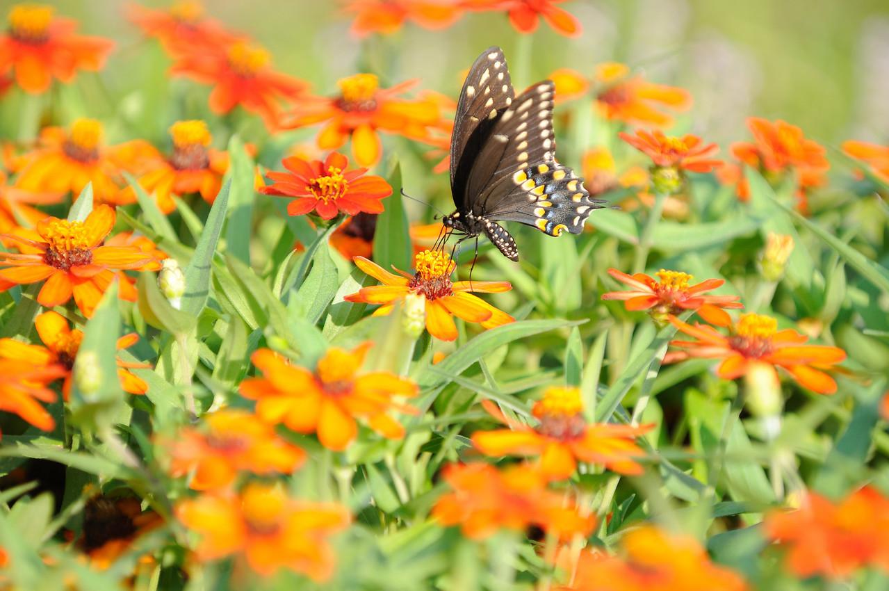 Butterflies82409_022