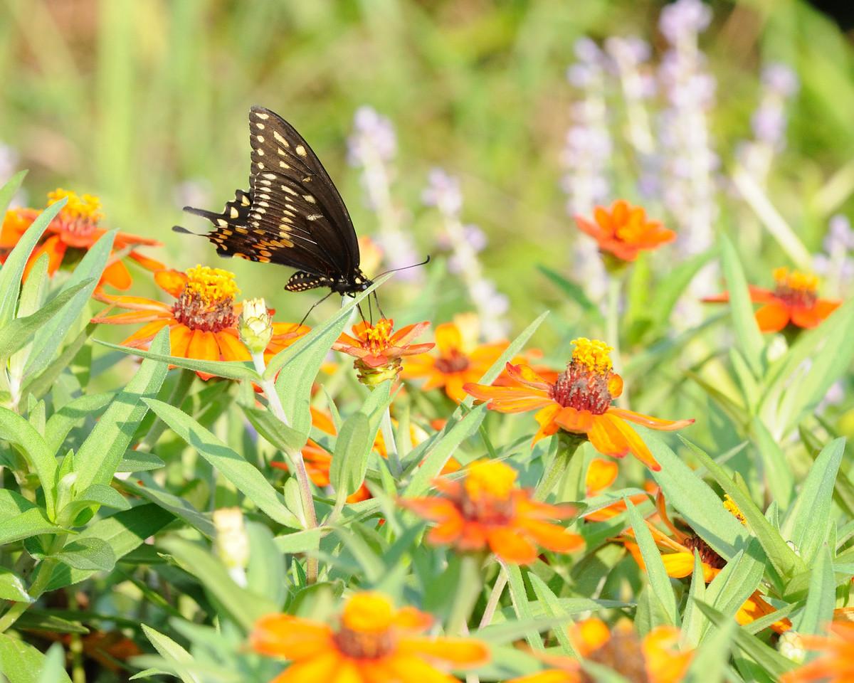 Butterflies82409_000