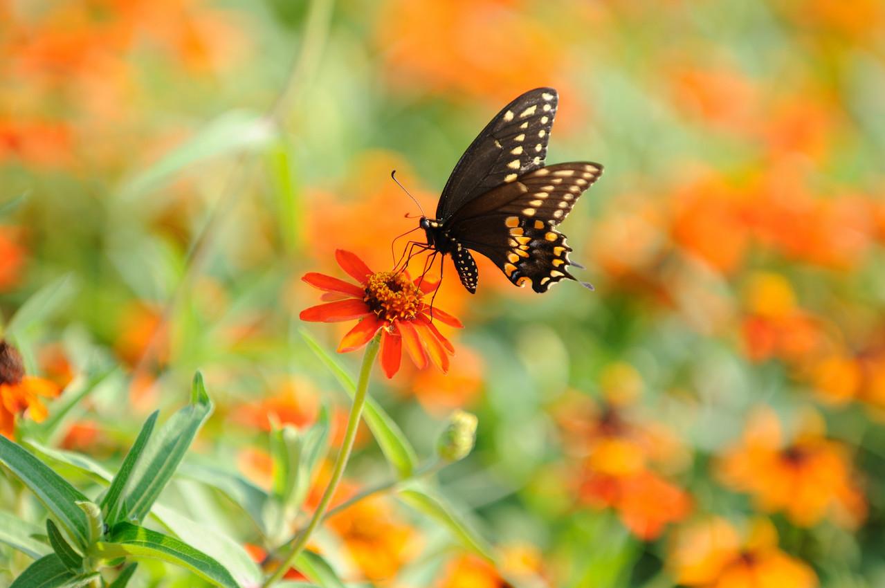 Butterflies82409_034