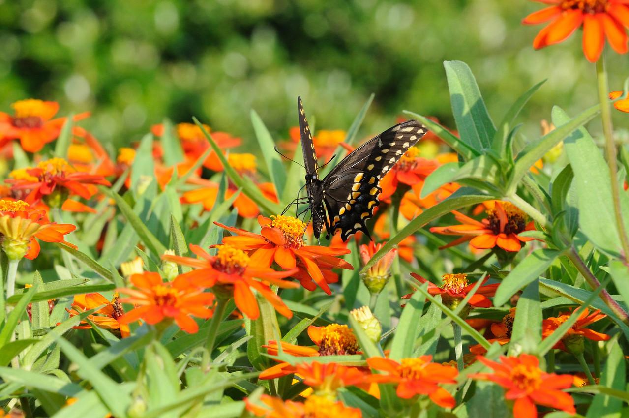 Butterflies82409_016