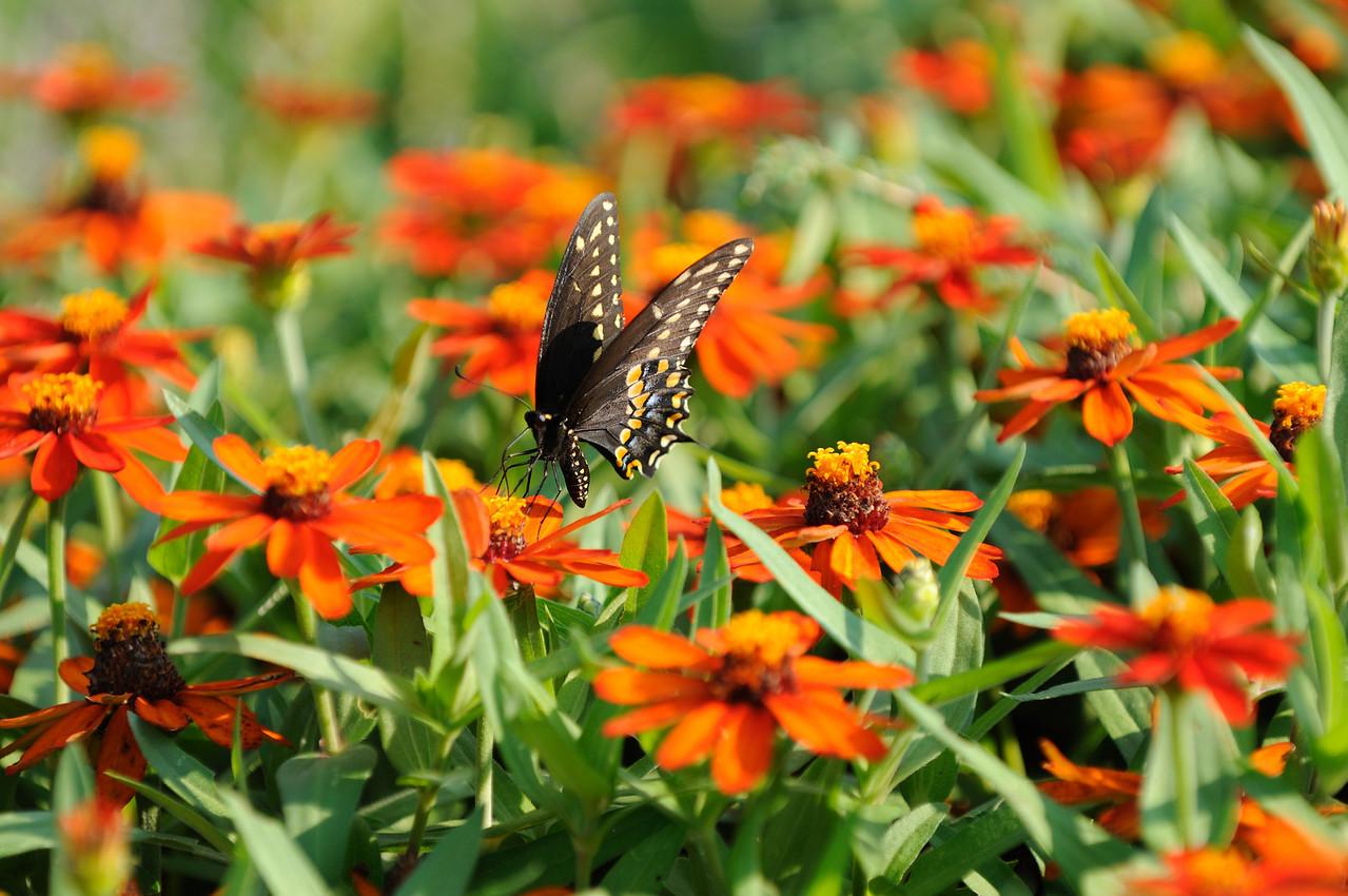 Butterflies82409_046