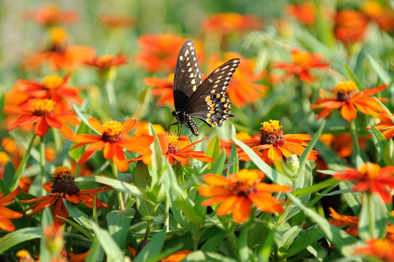 Butterflies82409_042
