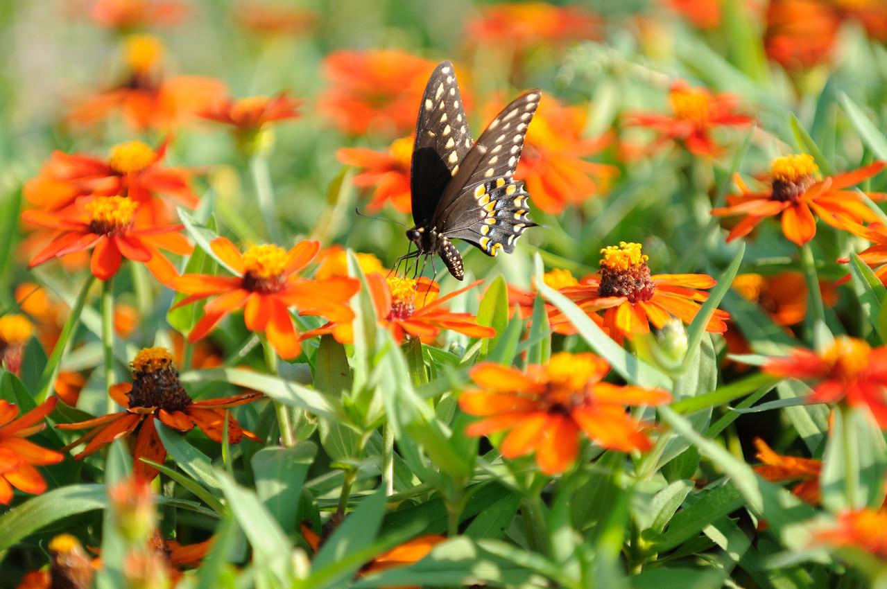 Butterflies82409_043