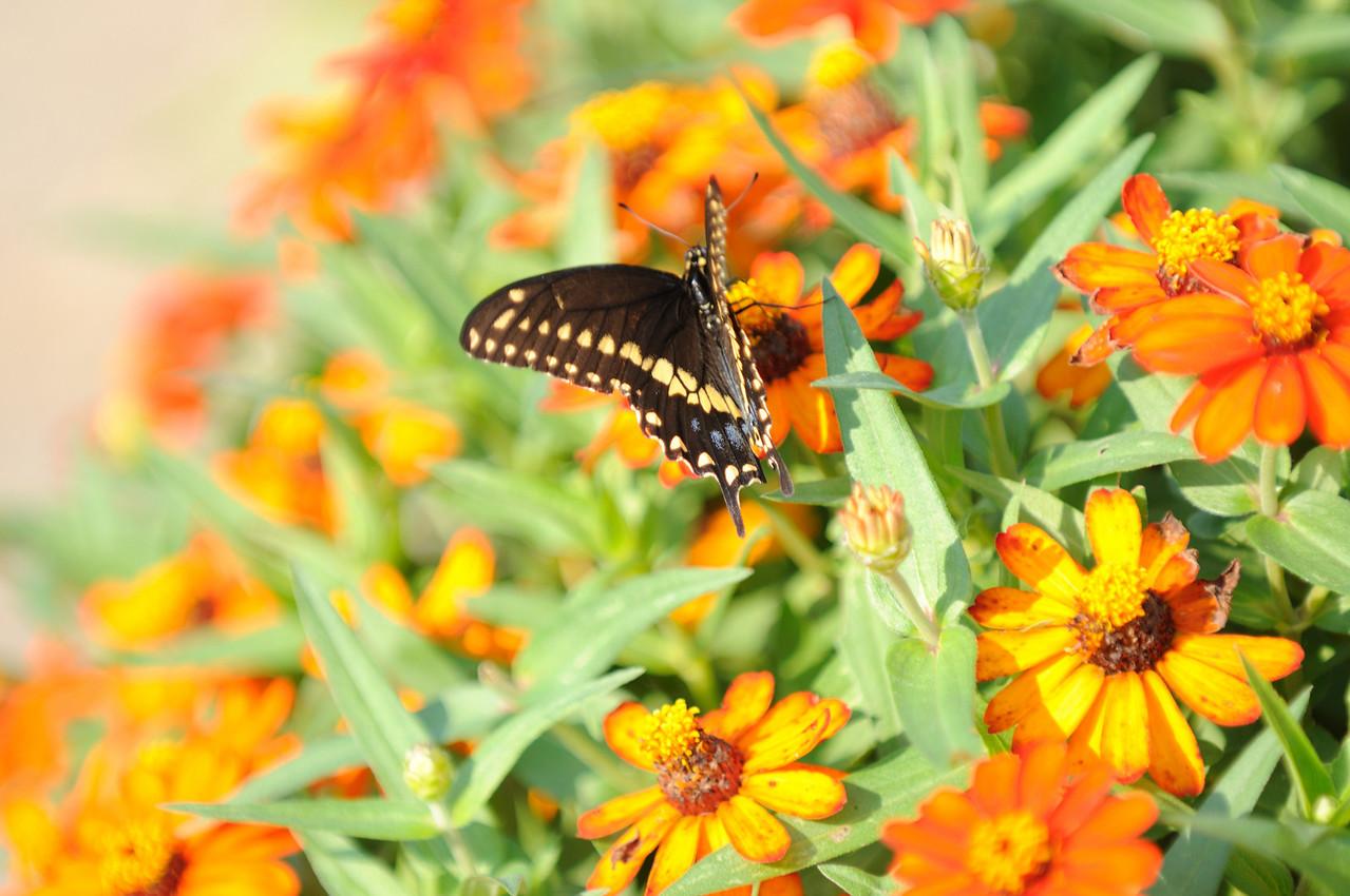 Butterflies82409_024
