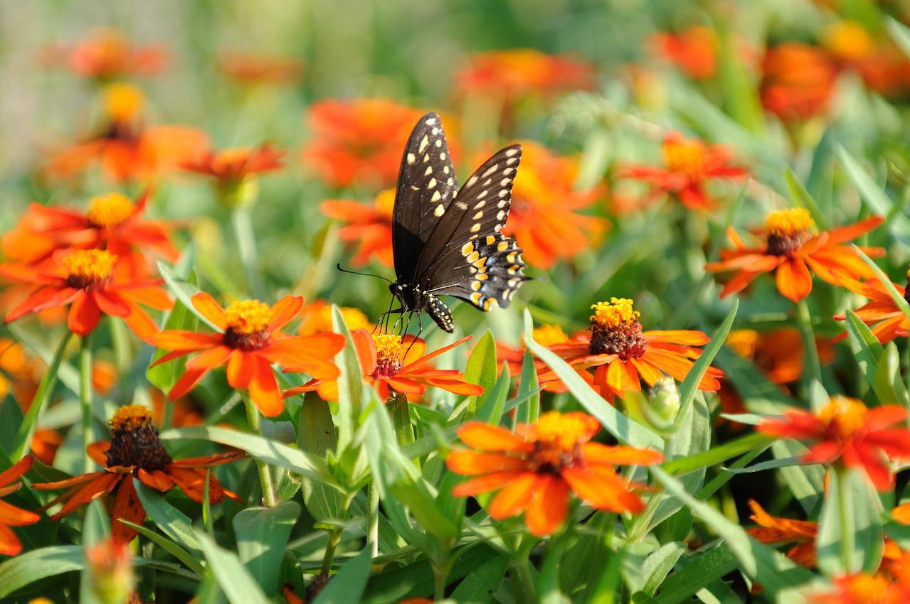 Butterflies82409_041