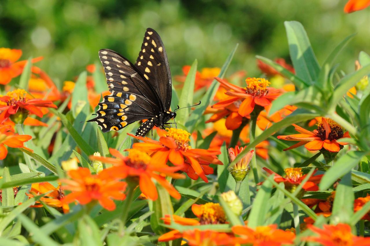Butterflies82409_012