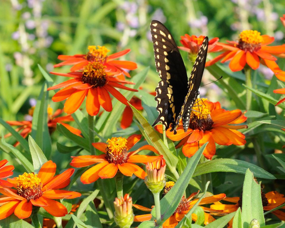 Butterflies82409_002