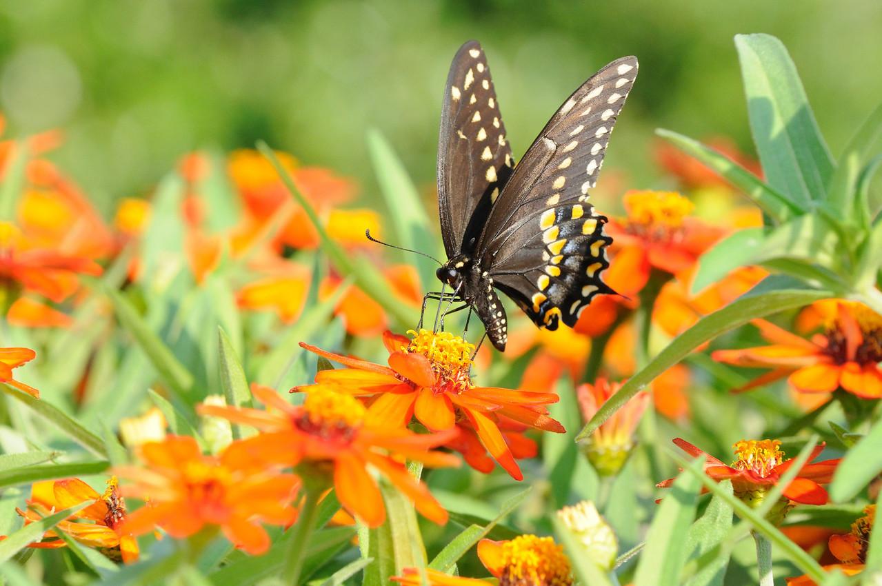 Butterflies82409_019