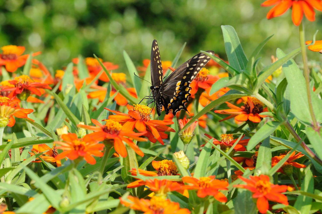 Butterflies82409_017