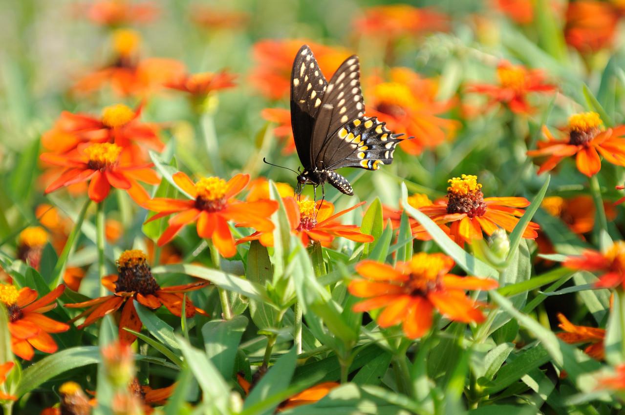 Butterflies82409_047
