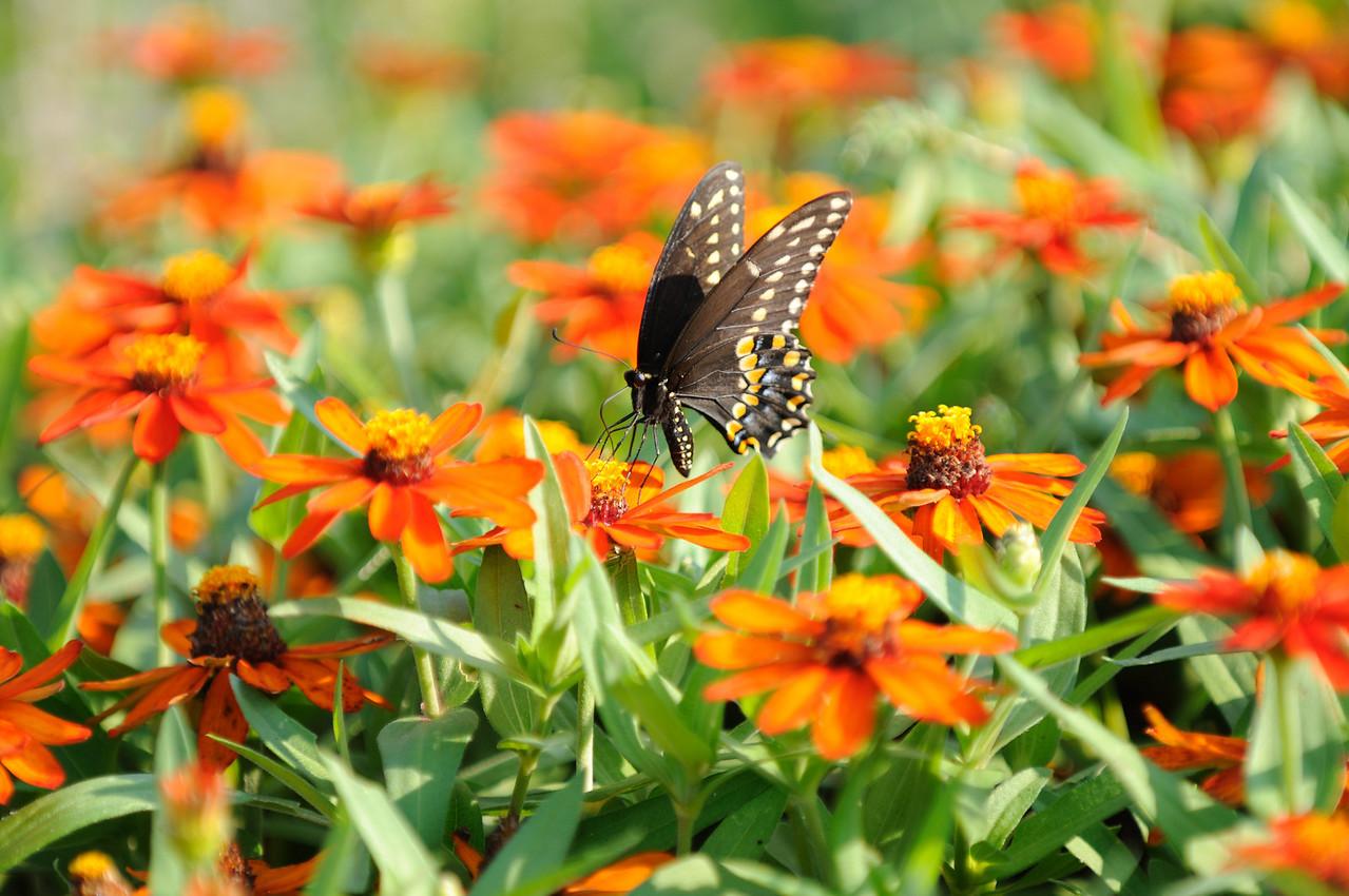 Butterflies82409_045