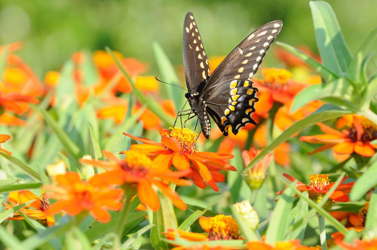 Butterflies82409_018