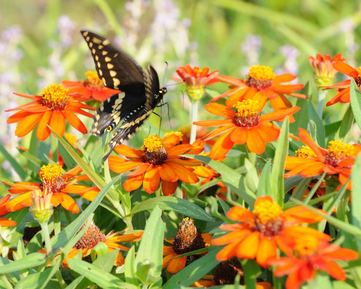 Butterflies82409_003