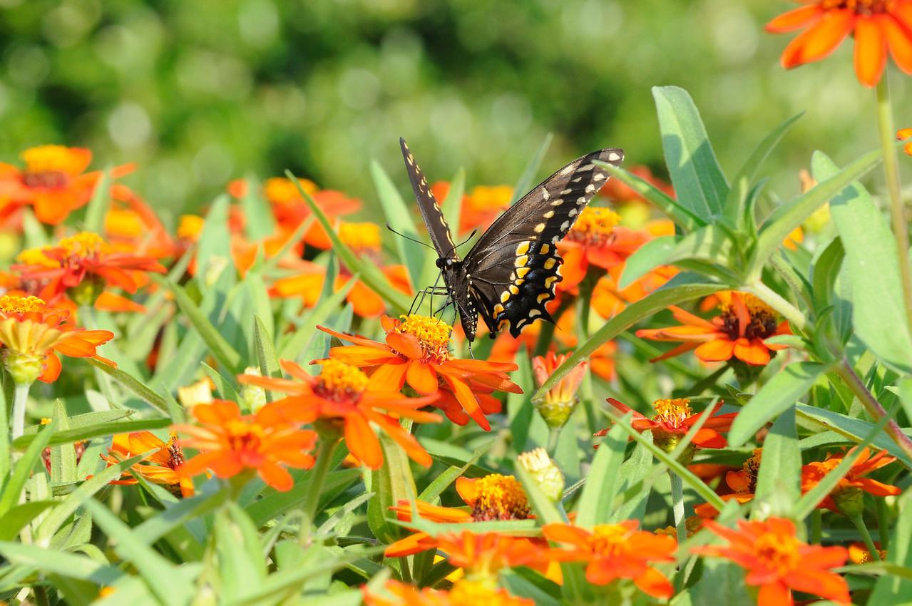 Butterflies82409_014
