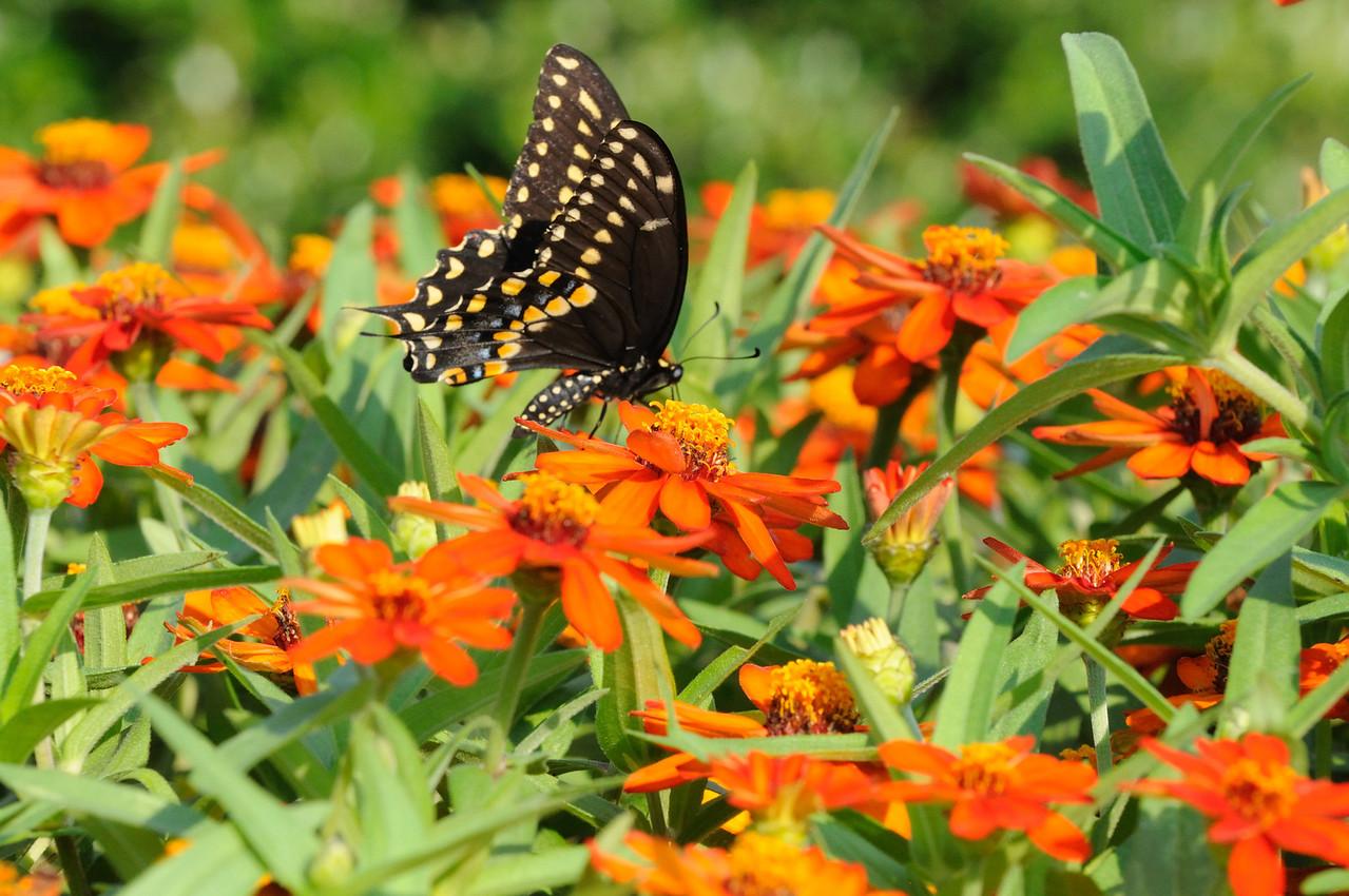 Butterflies82409_010