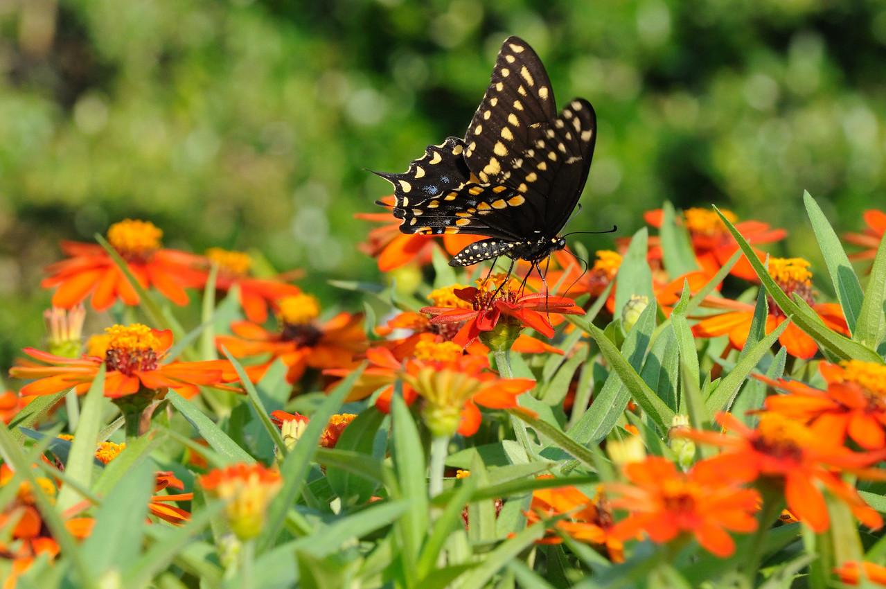Butterflies82409_009