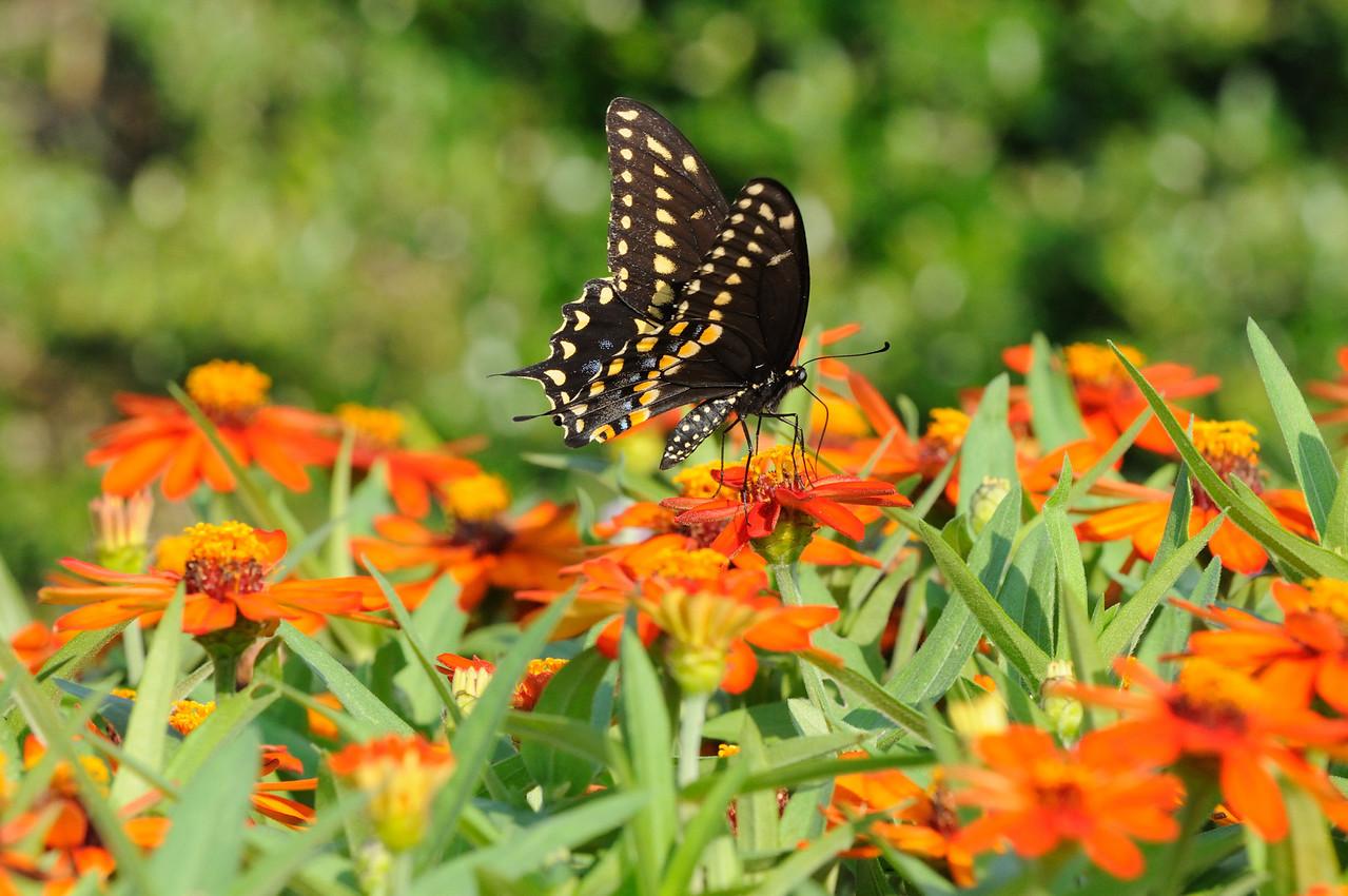 Butterflies82409_008
