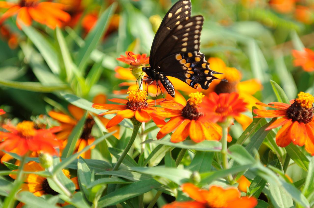 Butterflies82409_026