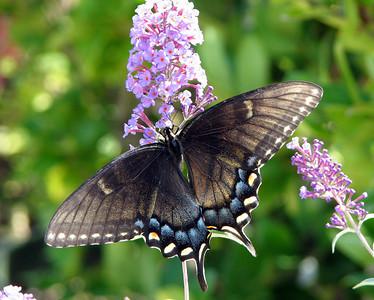 Butterflies August 2009