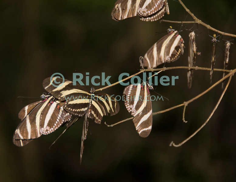 Saba - These butterflies were everywhere!  I was captivated by this large group that suddenly congregated on one branch at dusk.  © Rick Collier