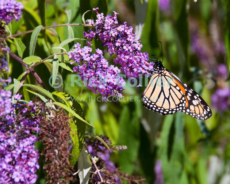"Monarch butterflies and flowers.  Ocean Grove, New Jersey, USA.<br /> <br /> <br /> USA ""New Jersey"" NJ ""Ocean Grove"" Ocean Grove Monarch butterfly butterflies flower flowers"