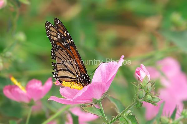 Monarch MBF010