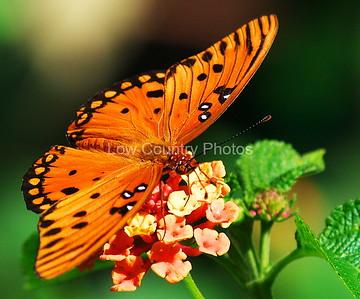 """""""Spotted Beauty""""  MCGulf Fritillary MCBF007"""