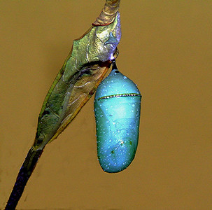 Monarch Pupa - Final Stage