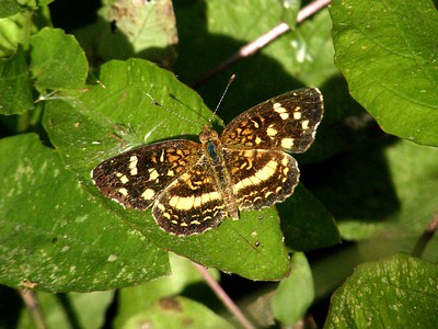 Pale-banded Cresent